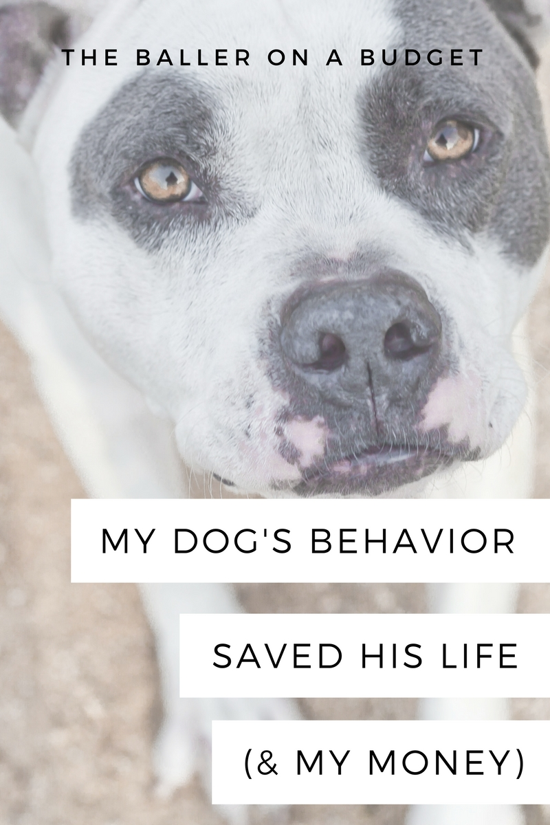 My pit bull Skooter almost died from blood loss, but not only did his behavior help us get him to the hospital - it helped us save a lot of money on his vet bill. Read more to see why having a well-mannered dog can save you money just like Skooter did.